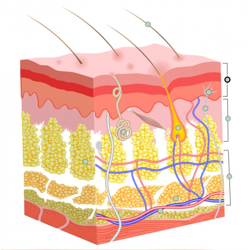 The Integumentary System - Skin Anatomy and Physiology Training ...